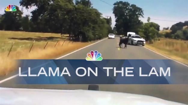 Cops Wrangle Llama on the Lam