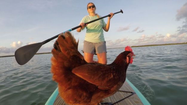 Paddleboarding Chicken Becomes Internet Sensation
