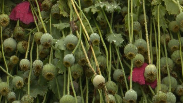 We're Not in Kansas Anymore: $500M Illegal Poppy Field Bust