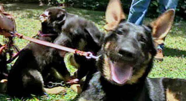Puppies of Cloned Hero Arrive in LA