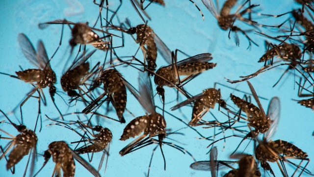 Experts Hope Mosquito-Borne Bacteria Can Beat Zika Virus