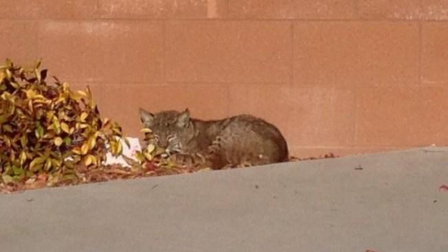 San Diego Teacher Meets Bobcat on Campus