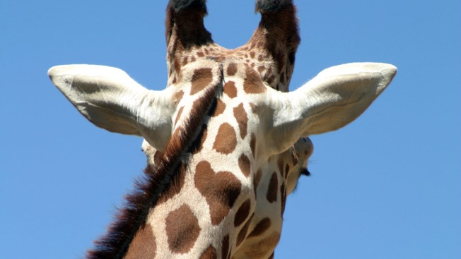 Duncan the Giraffe Euthanized at Central Florida Zoo