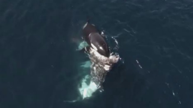 Orcas Stage Unprecedented Killing Spree in Monterey Bay