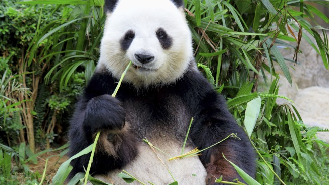 Mayor Against Bringing Pandas to NYC Zoo: Congresswoman