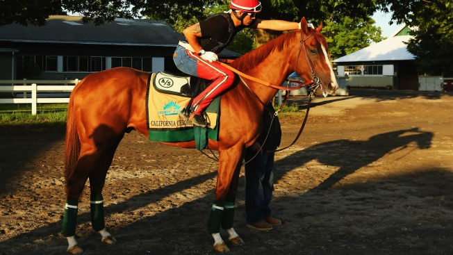 California Chrome Visits Starting Gate at Belmont Park