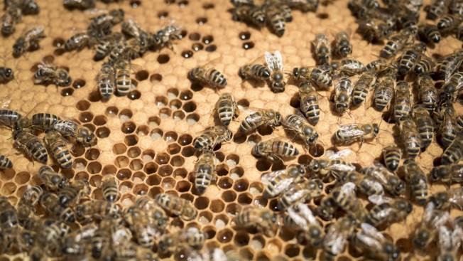 Sweet Home Nebraska: Honey Flows From Bee-Infested Omaha Attic