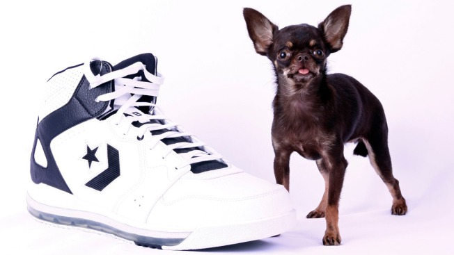 Miracle Milly Is World's Smallest Dog at 3.8 Inches
