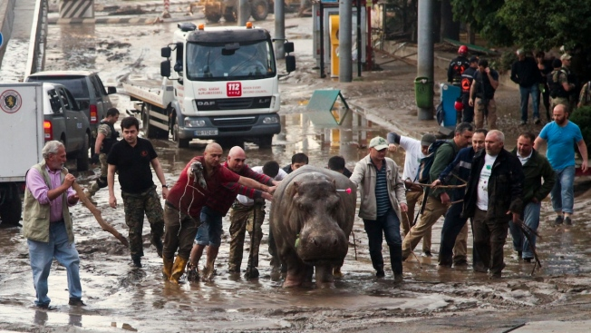 Escaped Tiger Mauls Man to Death, Wounds Another After Floods Set Zoo Animals Loose in Tbilisi: Police