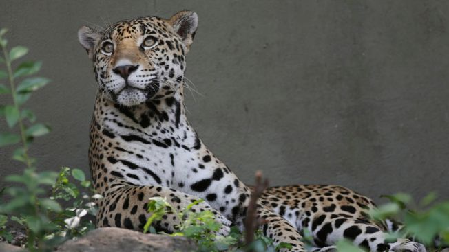 Jaguar Escapes, Kills 8 Animals at Audubon Zoo in New Orleans