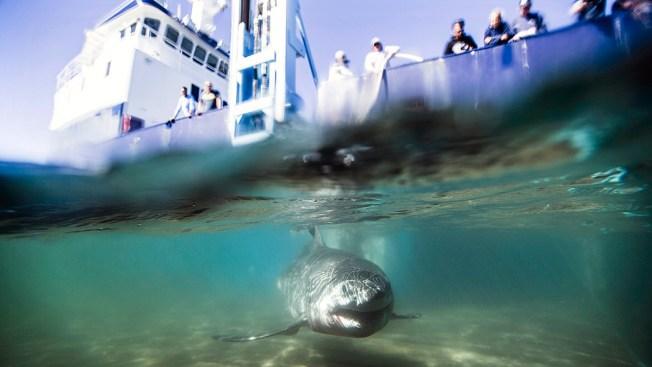 Research Group Confirms Rare White Shark Nursery off Long Island