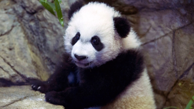 Bye-Bye Bei Bei: National Zoo's Panda Cam Goes Dark Amid Government Shutdown