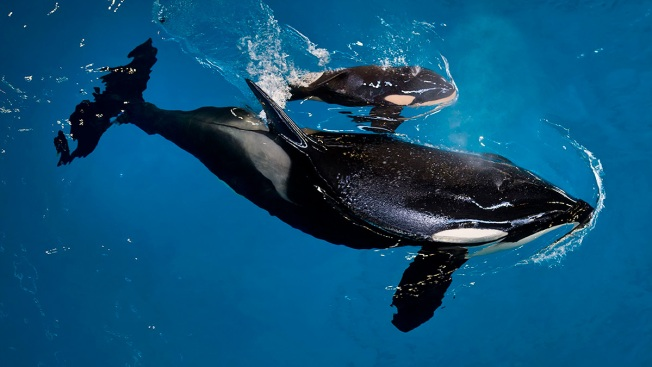 Baby Orca: Last Killer Whale Born at SeaWorld
