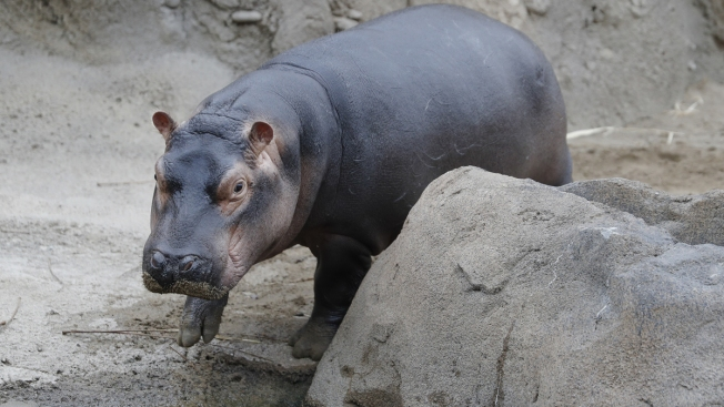 Famed Hippo Fiona of Cincinnati Zoo Hits Big Milestone After Premature Birth