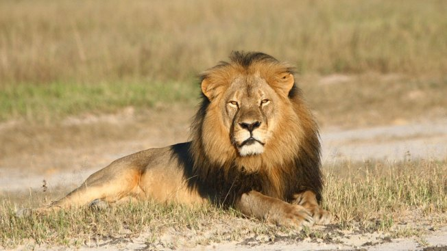 Cecil the Lion's Death May Result in 10 Cubs Killed: Experts