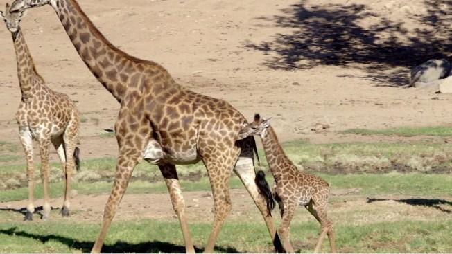 San Diego Zoo Welcomes Baby Giraffe