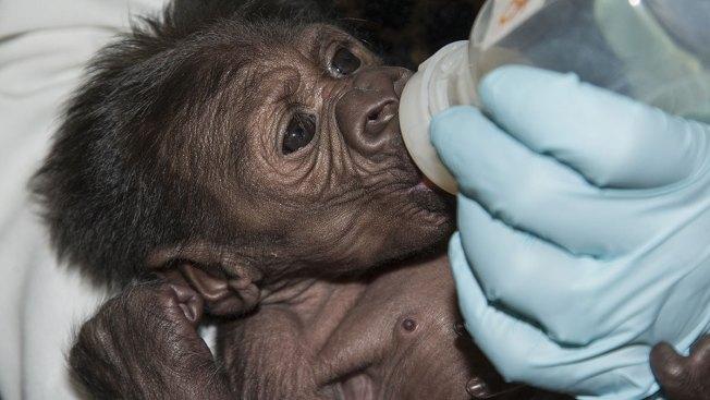 San Diego Baby Gorilla Takes First Bottle
