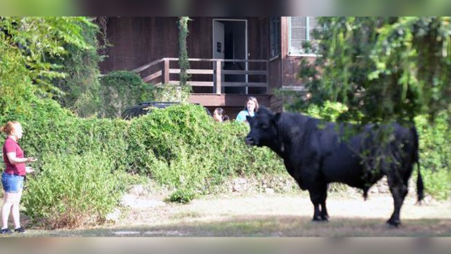 PHOTO: Bull Roams Texas College Campus