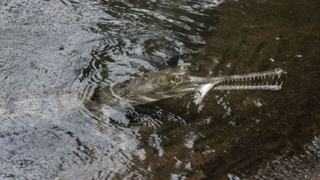 Endangered Indian Crocodile Returns To Bronx Zoo For First Time In
