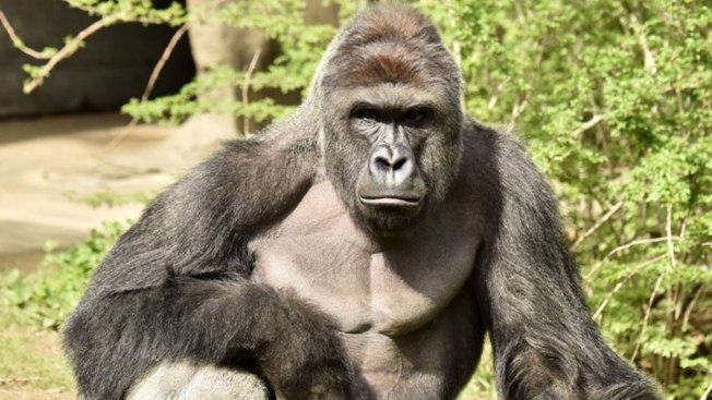 Vigil Planned at Cincinnati Zoo in Tribute to Slain Gorilla