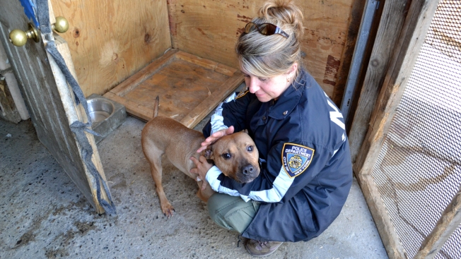 20 Starved, Scarred Pit Bulls Found Inside Queens Home: NYPD