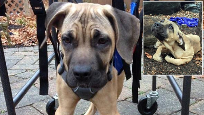 Puppy Found Unable to Walk in Harlem Park Takes First Unassisted Steps