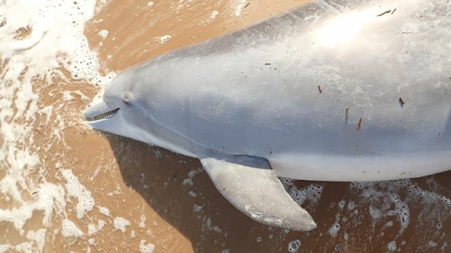 Reward Offered in Killing of Pregnant Dolphin
