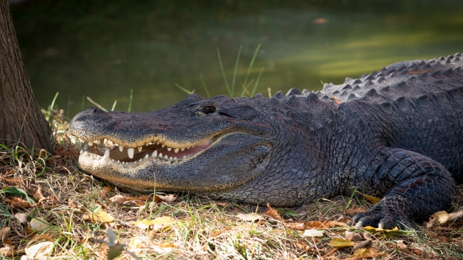 Ailing Alligator Gets CPR at Ohio Zoo