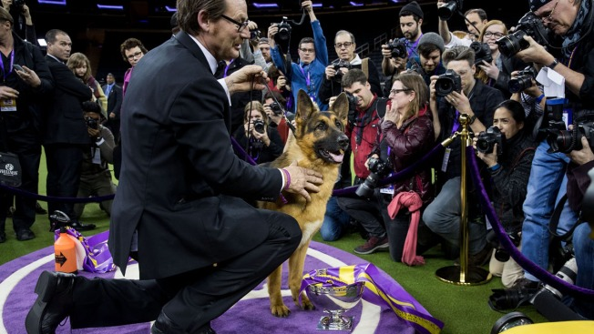 ... the German Shepherd Wins Best in Show at Westminster | NBC New York