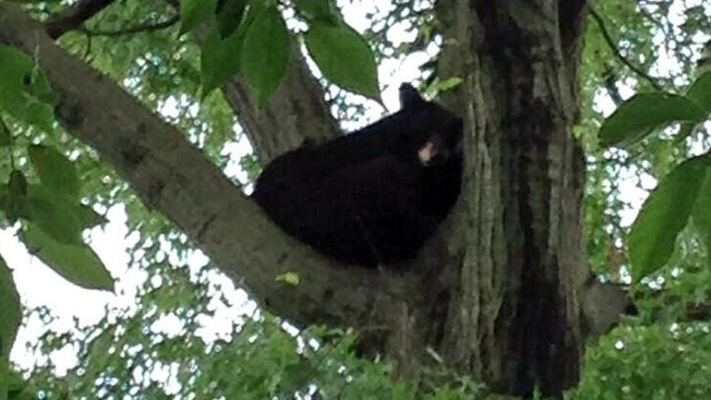 Baby Bear Spotted in Paramus