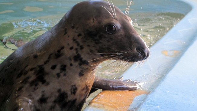 Land-Loving Jersey Shore Seal Adapts to Zoo Life in Detroit