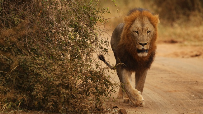 Suspected Poacher Was Mauled to Death by Lions' Pack in South Africa