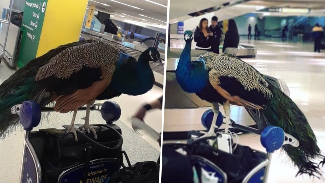 Image result for PEACOCK EMOTIONAL SUPPORT ANIMAL AT AIRPORT