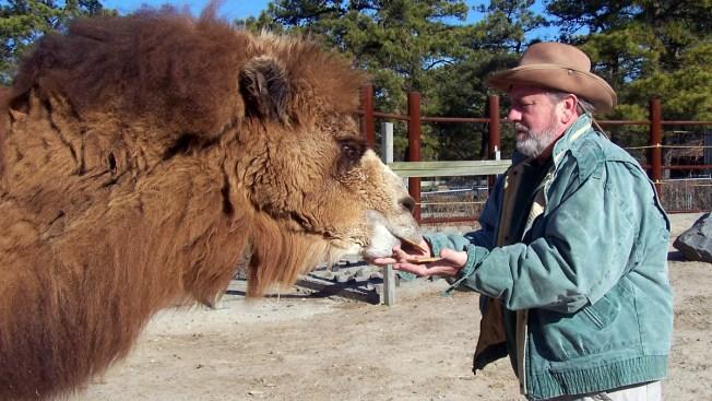 New Jersey's Pigskin-Picking Camel Dies Before Super Bowl