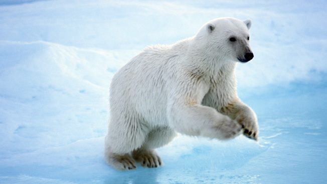 Faster-Moving Sea Ice Forces Polar Bears to Use More Energy