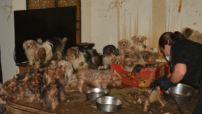 Calif. Couple Accused of Hoarding 180 Yorkies Pleads Guilty