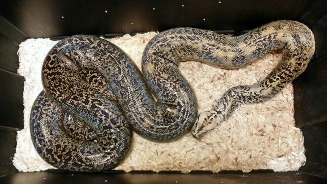13-Foot Python, 10 Other Snakes Seized From Westchester Home: Authorities