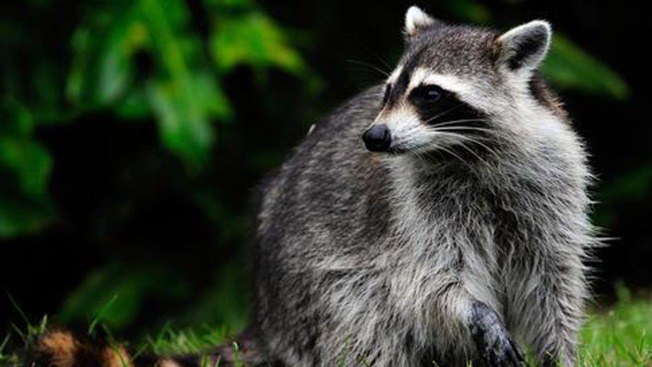 NYC to Trap and Vaccinate Raccoons for Rabies in Northern Manhattan Parks