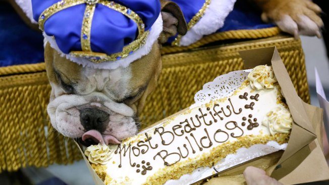 Rescue Dog Vincent Crowned 'Beautiful Bulldog' in Iowa
