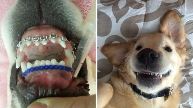 Golden Retriever Puppy Gets Braces to Correct Tooth Alignment