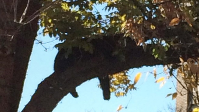 Bear Spotted Climbing Tree, Napping in Morristown Green