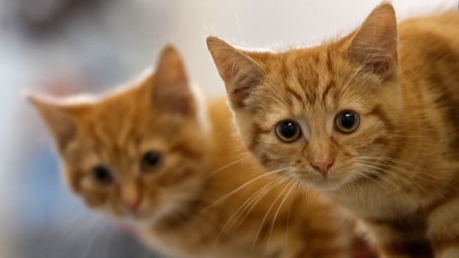 Assembly Votes to Make New Jersey First State to Ban Cat Declawing