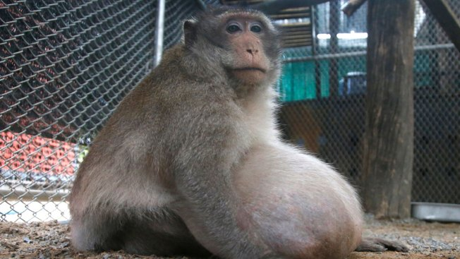 Thailand's chunky monkey on a diet