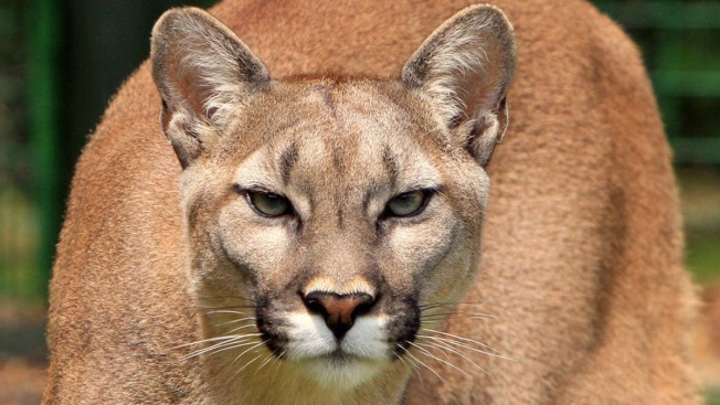 No, Mr. Mayor, 'We Don't Have Mountain Lions in New Jersey'