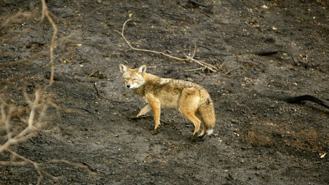 Alert Issued After Coyote Spotted Attacking Deer in New York