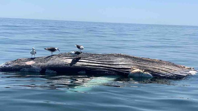 Dead Humpback Whale Found Floating Off Long Island