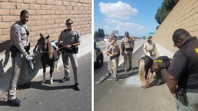 Miniature Horse Rescued After Freeway Hit-and-Run