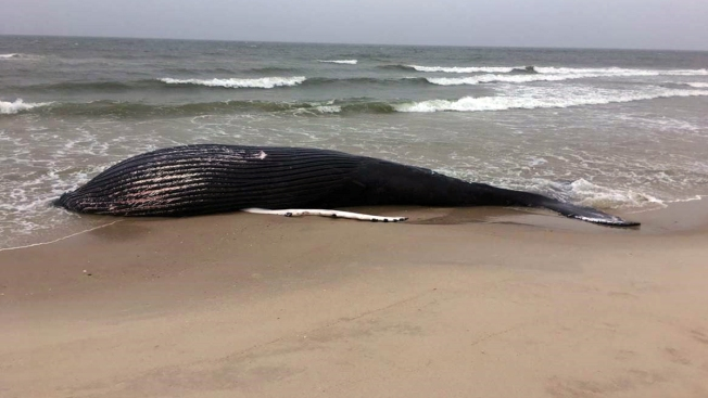 37-Foot Whale Washes Up in the Hamptons: Rescuers