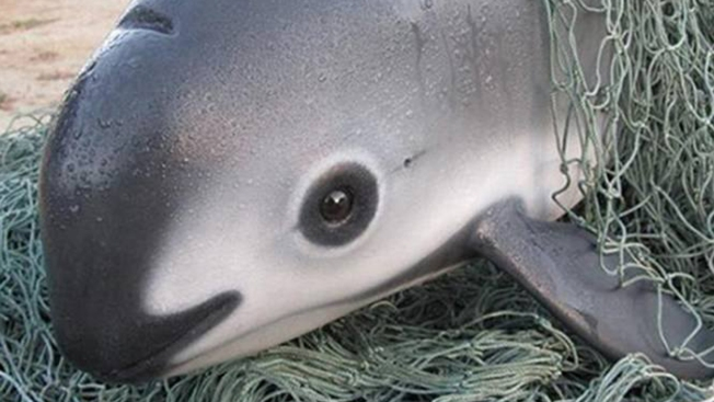 [NATL-LA]Meet the Vaquita, the Endangered Sea Mammal With 30 Members Left