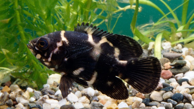 Man Charged With Animal Cruelty for Abandoning Pet Fish